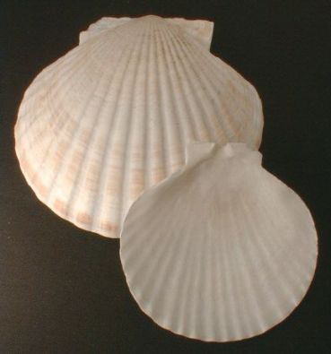 Natural Baking Shell, 4 in.